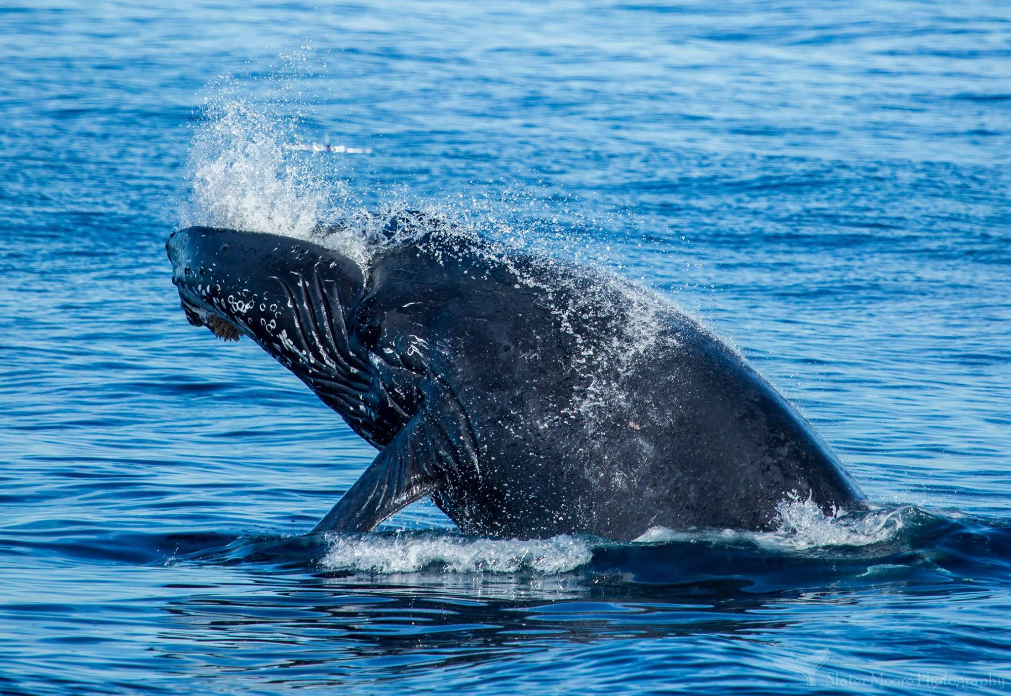 Blue Whales, Gray Whales, Finback Whales & more