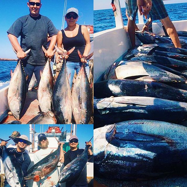 Just one of them days 31 bluefin and 3 yellowfin for Davey s locker fish count