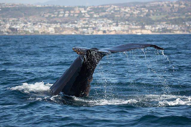 """Check out the unique fluke on this humpback whale! It was an awesome afternoon on the water with this beautiful giant. Photos by @dalefrink - remember to use our Instagram promo code """"Insta12"""" when you book to get a great deal on our trips- link in bio! •••••••••#discoverocean #whales #whalewatching #teamcanon #visualsofearth #discoverer #depthsofearth #createcommune #newportbeach #earthcapture #yourshotphotographer #stayandwander #roamtheplanet #ourlonelyplanet"""