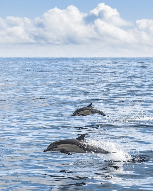 How the ocean exists in our imagination every day! Calm seas, sunshine, and dolphins!! Photo by Kristin Campbell****** #whales #dolphins #whalewatching #exploretocreate #wildlife #wildlifephotography #wildlife_perfection #wildlifeplanet #planetearth #earthfocus