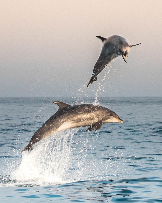 Is it summer yet?! These bottlenose dolphins share our excitement for the changing season! Bring on the sunny skies and ocean breeze! Photo by Delaney Trowbridge @seataceans ********#ocean #oceanlife #sea #seacreatures #sealife #nature #nature_org #createyourstory #earthpix #outdoor#wildlife #adventure #adventuretime #bucketlistideas #bucketlistadventures #dolphins #exploremore #newportbeach #oragencounty #whalewatching